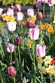 Pink Tulips And Yellow Daffodils