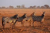 Plains zebras (Equus burchelli) in early morning dust, Amboseli National Park, Kenya
