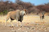 Large male eland antelope (Tragelaphus oryx), Etosha National Park, Namibia