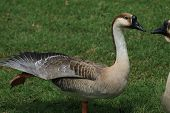 Dancing Goose