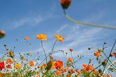 stock photo of cosmos flowers  - beautiful cosmos flowers in garden of Thailnd - JPG