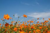picture of cosmos flowers  - beautiful cosmos flowers in garden of Thailnd - JPG