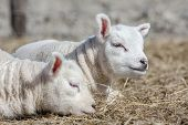 stock photo of spring lambs  - two young sweet lambs sitting down on a bed of dry straw on a sunny spring day