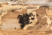 stock photo of ant  - Close up of tight ant colony with queen and offspring found under bark of pine tree firewood - JPG