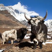 stock photo of yaks  - Yaks on the way to Everest base camp and mount Lhotse  - JPG
