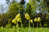 picture of cowslip  - Low angle image of sunlit cowslip flowers in green grass - JPG