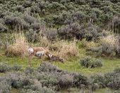 stock photo of sagebrush  - Pronghorn Antelope with little one in the sagebrush  - JPG