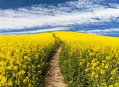image of turnip greens  - Field of rapeseed with rural road and beautiful cloud  - JPG