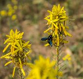picture of pollen  - Insect collecting pollen on a yellow flower Prespa Greece  - JPG