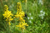 foto of pollen  - Insect collecting pollen on a yellow flower Prespa Greece  - JPG