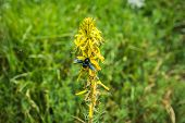 stock photo of pollen  - Insect collecting pollen on a yellow flower Prespa Greece - JPG