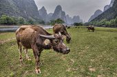 image of household farm  - Rural Asia a herd of cows grazing in the countryside on the bank of the river Lijiang a pasture on a background of the karst hills of Guilin Yangshuo County Southwest China - JPG