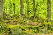 stock photo of lichenes  - Beech forest in springtime - JPG