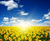 pic of sunflower  - field of sunflowers and sun in the blue sky - JPG
