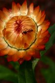 foto of fire ant  - strawflower with an ant the flower glows like it - JPG