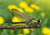 picture of dragonflies  - Dragonfly sitting on a twig - JPG