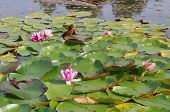 pic of day-lilies  - Beautiful Water Lilies in sunlight on a spring day - JPG