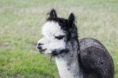 picture of alpaca  - Silver gray alpaca on country ranch field background - JPG