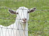 picture of pygmy goat  - Close - JPG