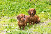 stock photo of dachshund dog  - dog of breed dachshund of a brown color - JPG
