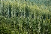image of ecosystem  - Healthy green coniferous forest with old spruce fir and pine trees in wilderness area of a national park - JPG