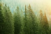 foto of nationalism  - Healthy big green coniferous trees in a forest of old spruce fir and pine trees in wilderness area of a national park lit by bright yellow sunlight - JPG