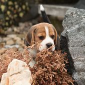 stock photo of puppy beagle  - Beautiful beagle puppy on the garden in winter - JPG
