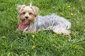 stock photo of yorkie  - Closeup of a Female Yorkie Sitting on Grass in the Spring - JPG