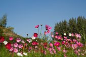 foto of cosmos flowers  - Cosmos flowers are blooming in the garden - JPG