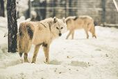 foto of white wolf  - White Wolfs Pack in Snowy Forest of Northern Lands - JPG
