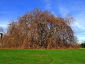 foto of weeping willow tree  - Photo of a Weeping Beech Tree in the spring - JPG