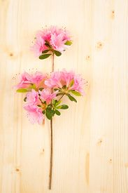 stock photo of azalea  - Close up of light pink azalea branch and flower clusters resting on wooden table - JPG