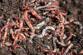 stock photo of humus  - Earth Worms  - JPG