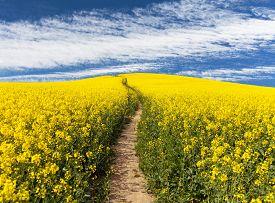 foto of turnip greens  - Field of rapeseed with rural road and beautiful cloud  - JPG