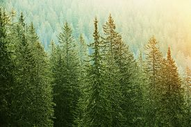 image of ecology  - Healthy big green coniferous trees in a forest of old spruce fir and pine trees in wilderness area of a national park lit by bright yellow sunlight - JPG