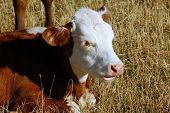 picture of bobbies  - a very young hereford bobby calf in field - JPG