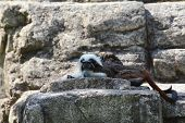 A Tamarin Rests On The Rocks Near His Lair poster