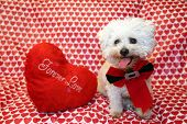 A pure breed Bichon Frise dog poses for Valentines Day photos against a Heart Pattern background. Bi poster