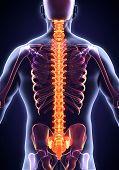 Постер, плакат: Human Male Spine Anatomy