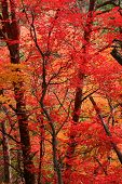 stock photo of fall leaves  - bright red fall leaves on georgias fort mountain - JPG