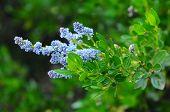 Purple Nighrshade Flowers And Leaves