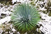 Yucca Plant Cactus