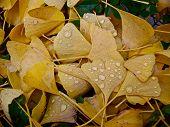 Golden Leaves In Rain