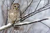 stock photo of hooters  - Perched Barred Owl with a light snowfall - JPG