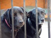 image of sad dog  - two sad labrador dogs being kept behind bars because they have been bad - JPG