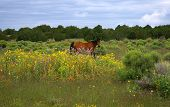 picture of xeriscape  - horse in a meadow of many flowers - JPG