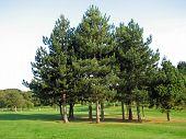 Four Pine Trees