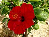 picture of hibiscus flower  - The brilliant red flower of an hibiscus glowing in the sun - JPG