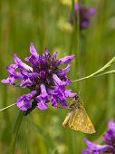 Small Skipper Butterfly 2