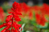 Red Flowers Bokeh